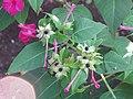 Starr-090730-3406-Mirabilis jalapa-flowers and leaves-Honolulu Airport-Oahu (24970703745).jpg