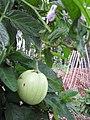 Starr-110217-1517-Solanum muricatum-fruit and leaves-Olinda-Maui (24958286842).jpg