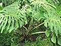 Starr-110307-2370-Monstera deliciosa-fruiting habit-Kula Botanical Garden-Maui (25076898245).jpg