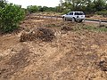 Starr-110328-3407-Thespesia populnea-scoured area after tsunami with Explorer-Kanaha Beach-Maui (24986824221).jpg
