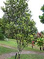 Starr-110330-3706-Fortunella japonica-habit-Garden of Eden Keanae-Maui (25054317496).jpg