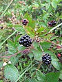 Starr-110331-4490-Rubus argutus-fruit and leaves-Shibuya Farm Kula-Maui (24988489441).jpg
