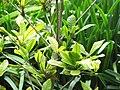 Starr-120606-7075-Synsepalum dulcificum-leaves-Laulima Farm Kipahulu-Maui (24517927743).jpg