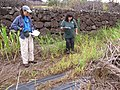 Starr-120620-7499-Cenchrus purpureus-local napier grass seedlings with Kim and Pam-Kula Agriculture Station-Maui (24850126480).jpg