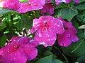 Starr-130114-1401-Impatiens walleriana-flower with water spots-Paia-Maui (25178183616).jpg