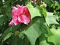 Starr-130312-2387-Hibiscus mutabilis-flower goes from white to bright pink-Pali o Waipio Huelo-Maui (24576590524).jpg