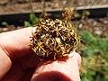 Starr-131216-2788-Daucus carota subsp sativus-seedhead-Hawea Pl Olinda-Maui (24601698093).jpg
