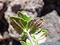 Starr-151106-0467-Veronica arvensis-leaves-Science City-Maui (26257990976).jpg