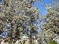 Starr-160717-0236-Conocarpus erectus-habit-Vitas Healthcare Delray Beach-Florida (29377428560).jpg