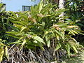 Starr 020617-0007 Alpinia zerumbet.jpg