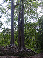 Starr 030807-0004 Eucalyptus deglupta.jpg