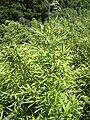 Starr 030807-0159 Phyllostachys nigra.jpg