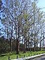 Starr 040209-0021 Eucalyptus deglupta.jpg