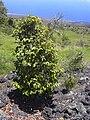 Starr 040731-0023 Xylosma hawaiiense.jpg