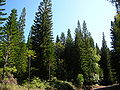 Starr 041113-0634 Araucaria columnaris.jpg