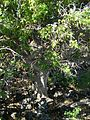 Starr 041223-2015 Rauvolfia sandwicensis.jpg