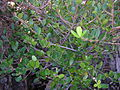 Starr 041229-2700 Alyxia oliviformis.jpg