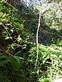 Starr 050115-3055 Pipturus albidus.jpg