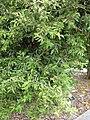 Starr 050407-6249 Psydrax odorata.jpg