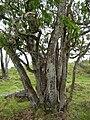 Starr 051029-8367 Nestegis sandwicensis.jpg