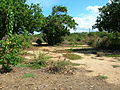 Starr 051104-5171 Cyperus javanicus.jpg