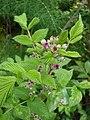 Starr 070621-7482 Rubus niveus f. a.jpg
