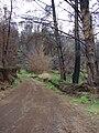Starr 070908-9141 Pinus sp..jpg