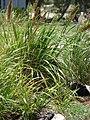 Starr 080531-4821 Eragrostis variabilis.jpg
