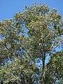 Starr 090213-2479 Syzygium cumini.jpg