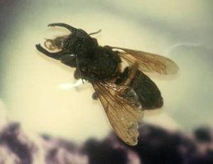 Megachile pluto - Image: Stavenn Megachile pluto