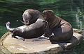 Steller Sea Lions(Vancouver)07(js).jpg