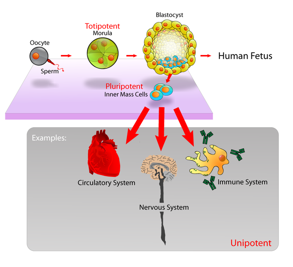 Pluripotent: Embryonic stem cells are able to develop into any type of cell, excepting those of the placenta. Only embryonic stem cells of the morula are totipotent: able to develop into any type of cell, including those of the placenta. Stem cells diagram.png