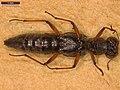 Stenus bimaculatus (40540166595).jpg