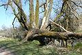 Sterbender Baum im Schwenninger Moos.JPG