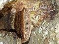Stingless Bees Hive (Tetrigona binghami) (8220686935).jpg