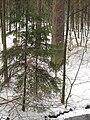 Stoleté smrky hornopožárského lesa (003).JPG