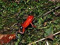 Strawberry Poison Frog (Oophaga pumilio) (6941511940).jpg