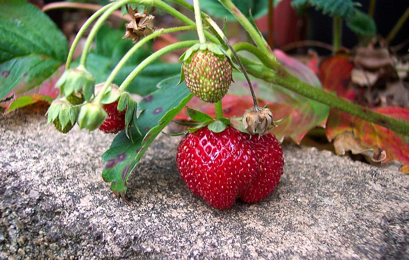 Close up of ripe and unripe strawberries, by user Enoch Lau at Wikimedia