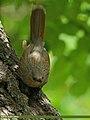 Streaked Laughingthrush (Trochalopteron lineatum) (22298940664).jpg