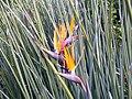 Strelitzia juncea flower.jpg