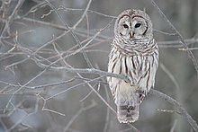 An owl with stripes on its belly perches in a tree against a pale landscape