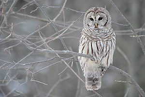 Barred Owl (Strix varia) – Whitby, Ontario (Ca...