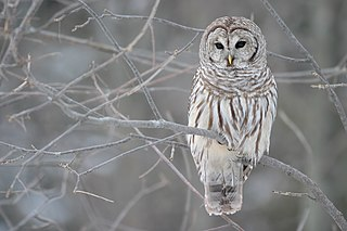 Barred owl large typical owl