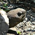 Sun Worshipping Gopher Tortoise (14197310566).jpg