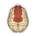 Superior frontal gyrus - superior view.png