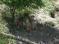 Suricates 2 (Jardin zoologique du Québec) - 2005-07.jpg