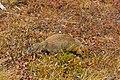 Suslik ártico (Spermophilus parryii), Parque nacional y reserva Denali, Alaska, Estados Unidos, 2017-08-30, DD 68.jpg