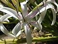 Swamp lily (Crinum asiaticum) 02.jpg
