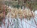 Swans' nest - geograph.org.uk - 341442.jpg