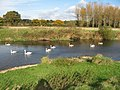 Swans at Bear Mead - geograph.org.uk - 1187028.jpg